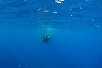 Bryde's whale, Balaenoptera brydei or Balaenoptera edeni, feeding on baitball of sardines, Sardinops sagax, off Baja California, Mexico ( Eastern Pacific Ocean ) #2 in series of 9