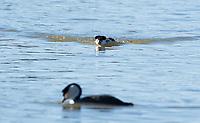 Clark's Grebe, Aechmophorus clarkii, approaches another grebe on Upper Klamath Lake, Oregon