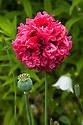 Papaver somniferum (Paeoniiflorum group), mid July. A red-pink, double peony poppy.