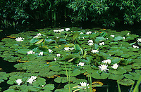 Weiße Seerose, Nymphaea alba, White Water Lily, European White Waterlily, White Lotus, Nenuphar, Schwimmblattpflanze, Schwimmblatt-Pflanze