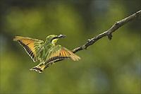 Little Bee-eater (Corbis 4-2011) Co-Exclusive