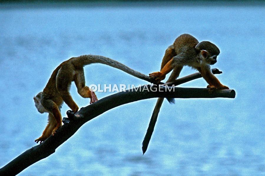 Animais. Mamiferos. Primatas. Macacos no zoológico. SP. Foto de Juca Martins.