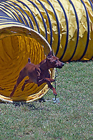 Minature Pinscher exiting a tunnel in an agility competition in Gloucester, VA.