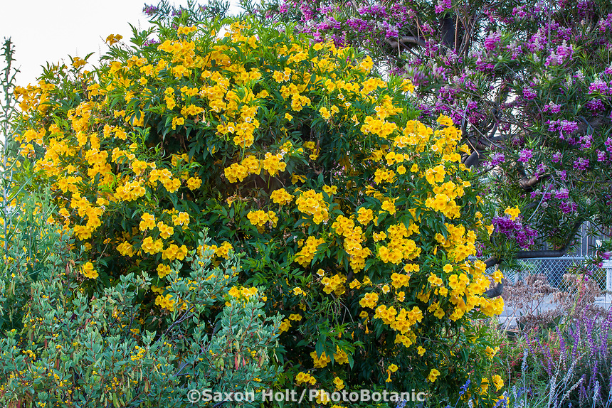 Tecoma stans 'Yellow Bells' flowering tree; South Coast Research and Extension Center; University of California ANR