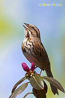 SW01-9000 Song Sparrow Male singing, Melospiza melodia, © Brian Kuhn/Dwight Kuhn Photography.