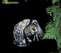 OW08-012z  Saw-whet owl - flying - Aegolius acadicus