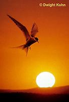 MC59-065z  Arctic Tern - flying above island at sunset - Machias Seal Island, Bay of Fundy - Sterna paradisaea