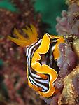 Kenting, Taiwan -- The nudibranch Chromodoris magnifica feasting on a sponge.