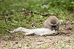 Pictured:  The monkey 'recieving CPR'.<br /> <br /> A monkey appears to give CPR to another member of its troop.  The vervet monkey looks like it is giving mouth to mouth resuscitation to the stricken female.<br /> <br /> However, he is in fact just taking advantage of an opportunity to groom the monkey while she is lying down.  Wildlife photographer William Steel took the photographs in the Gaborone Game Reserve in Botswana.  SEE OUR COPY FOR DETAILS.<br /> <br /> Please byline: William Steel/Solent News<br /> <br /> © William Steel/Solent News & Photo Agency<br /> UK +44 (0) 2380 458800