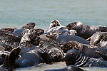 Gray Seals hauled out on the Chatham Bars, Cape Cod.  Close-up of several seals climbing onto sand bar side view.
