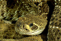 1R15-021z  Western Diamondback Rattlesnake - close-up of head showing heat sensing pits - Crotalus atrox