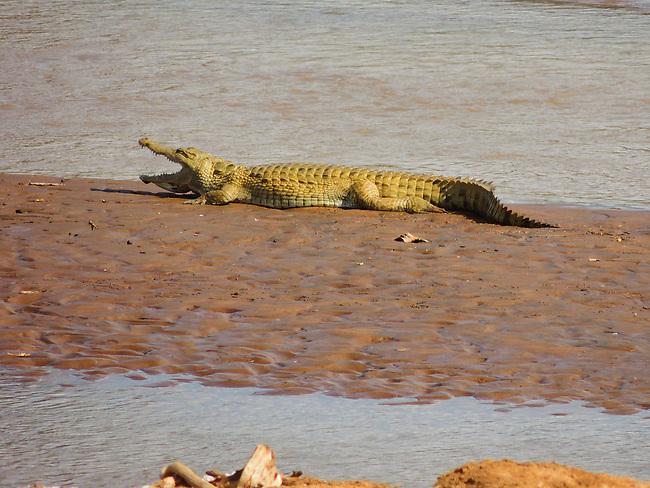 Nile Crocodile, Ewaso Nyiro River, Samburu