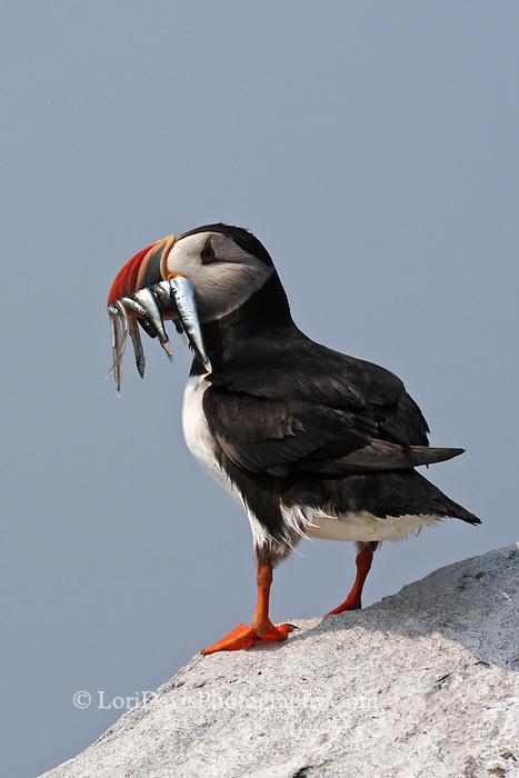Atlantic Puffin with Beak Full of Fish  #P21