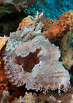 Close up view of a tassled scorpionfish: Scorpaenopis oxycephala, showing pale pink coloration, Raja Ampat, Indonesia