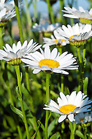 Daisies in bloom.