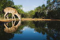 White-tailed Deer (Odocoileus virginianus), buck drinking, Rio Grande Valley, Texas, USA