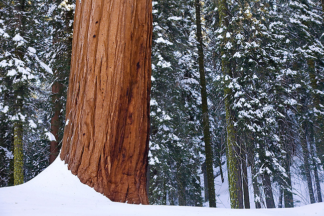 A GIANT SEQUOIA TREE STANDS OUT AMONGST THE SNOW-COVERED PINES AT SEQUOIA NATIONAL PARK, CALIFORNIA