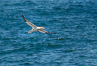 Northern Gannet in flight, flying low over North Atlantic Ocean