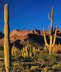 Saguaro cactus at sunset with the Ajo Mountains, Organ Pipe Cactus National Monument, Arizona, USA. .  John offers private photo tours in Arizona and and Colorado. Year-round.
