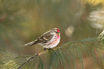 Common redpoll perched in a white pine in northern Wisconsin.