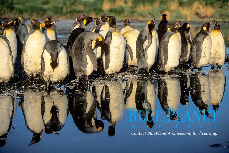 king penguins and reflection, Aptenodytes patagonicus, South Georgia Island, U.K., Atlantic