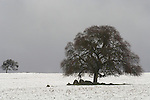 Bare oaks in winter in a snow-covered field in the Sierra Nevada Foothills of Amador County, Calif.
