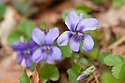 Common dog violet (Viola riviniana), late March.