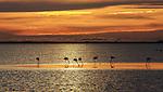 Greater flamingos, Camargue, France