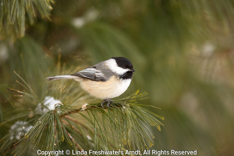 Black-capped chickadee perched on a pine branch.