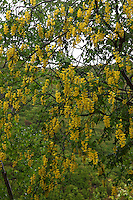 A glance at a tree with bushes of yellow flowers, along the Nature's Trail that links Picinisco to the Lake of the Bell Ringer Cave (Lago della Grotta del Campanaro), and that partially runs in the cleft of the Melfa river.