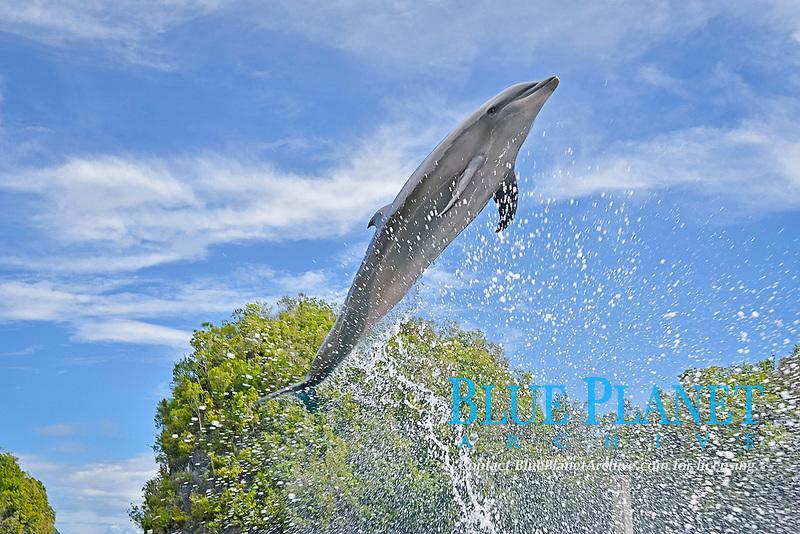 common bottlenose dolphin, Tursiops truncatus, Palau, Pacific Ocean (c)