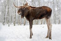 Elk or Moose (Alces alces alces), Bull Moose, in winter, captive, Germany, Europe