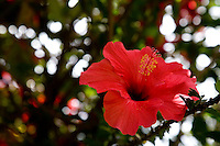 A HIBISCUS FLOWER GROWS IN THE WILDS OF THE URUBAMBA RIVER VALLEY IN PERU