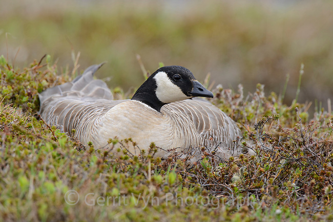 Female Cackling Goose (Branta hutchinsii minima) incubating eggs on the nest. Yukon Delta National Wildlife Refuge, Alaska. June.