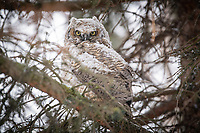A Great Horned Owl chick that was raised on Cuddy Quad endures a spring snow and wind storm outside the Professional Studies Building on the UAA campus.