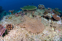 A Tasselled wobbegong, Eucrossorhinus dasypogon, lies flat on the bottom blending in to its surroundings. This species is a carpet shark and exists from northern Australia around New Guinea. Misool, Raja Ampat, Papua, Indonesia, Pacific Ocean