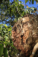 The Trigona nigerrima bee nests in the tress. It builds its whole nest.