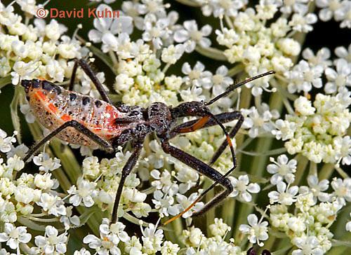 "0715-07zz  Assassin bug/Wheel bug ""Nymph"" - Arilus cristatus - © David Kuhn/Dwight Kuhn Photography"