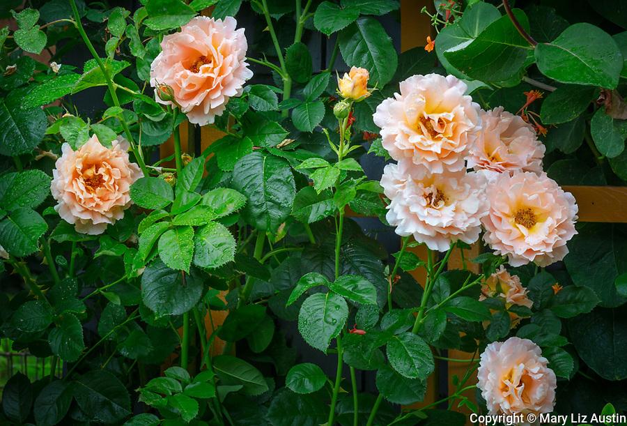 Vashon-Maury Island, WA: Climbing rose 'Polka'.