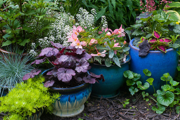 Container gardens pots, Festuca blue grass, blue pots, Alyssum Lobularia, purple Heuchera Grape Expecations, yellow Sedum, Coleus, Begonia in flower, matching colors of planters