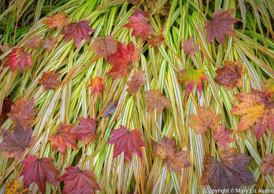 Vashon-Maury Island, WA: Autumn maple leaves on Japanese forest grass 'Hakonechloa macra 'Aureola'