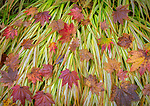 Vashon-Maury Island, WA: Autumn maple leaves on Japanese forest grass 'Hakonechloa macra 'Aureola'