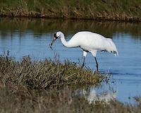 Whooping Crane, Intercostal Canal near Aransas NWR