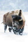 American Bison (Bison bison) in Gibbon Meadows. Yellowstone National Park, Wyoming, USA.