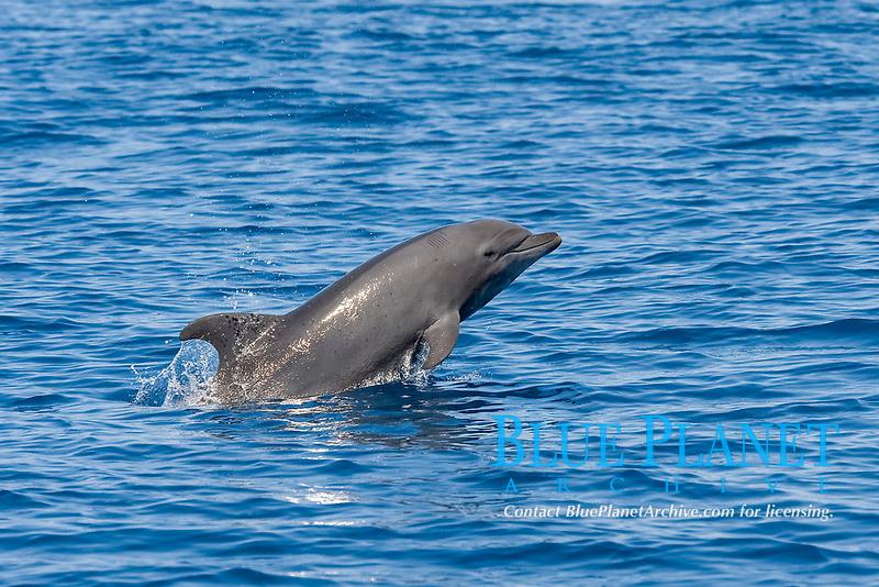 Juvenile Common Bottlenose Dolphin, Tursiops truncatus, porpoising, Costa Rica, Pacific Ocean