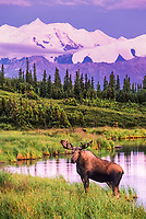 Bull moose stands by Wonder Lake in the late evening light, Denali National Park, Alaska.