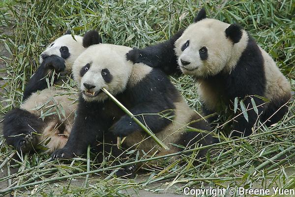 Panda feeding and play time at the Panda Valley Research Center, Wolong, Sichuan, China, May 2007