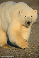 Polar bear near the Beaufort Sea in Alaska Alaska Polar Bear Photography Prints