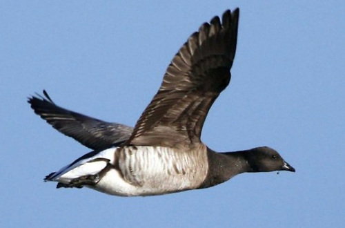 Having wintered in Ireland the pale-bellied Brent Geese leave Ireland and head north again in March and April