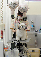 A dog gets a blow dry after a hair-cut  in a dog barbers and beauty salon in Tokyo, Japan. <br /> 20-Jan-2011